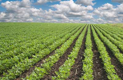 managing-weeds-soybeans.jpg